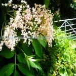 Campsite forage, elderflower, cool camping activities