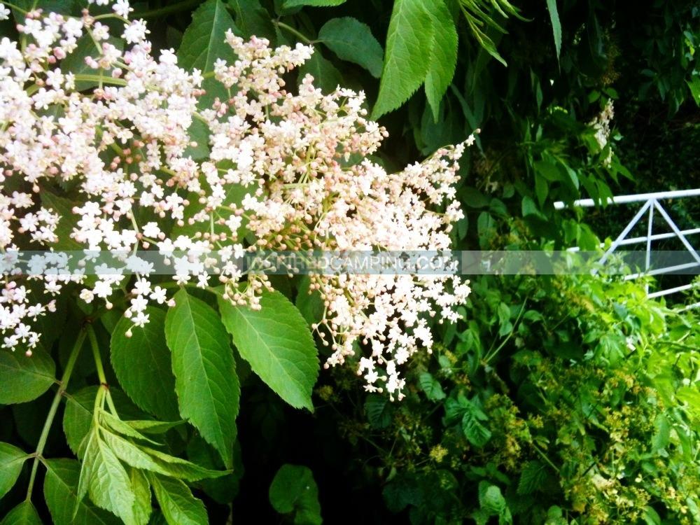 Campsite forage, elderflower, cool camping activities