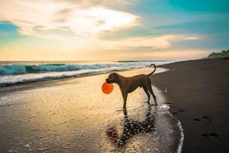 A dog holding a frisbee on a beach